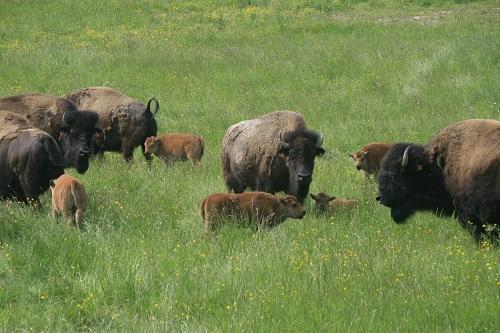 femelle bison americain